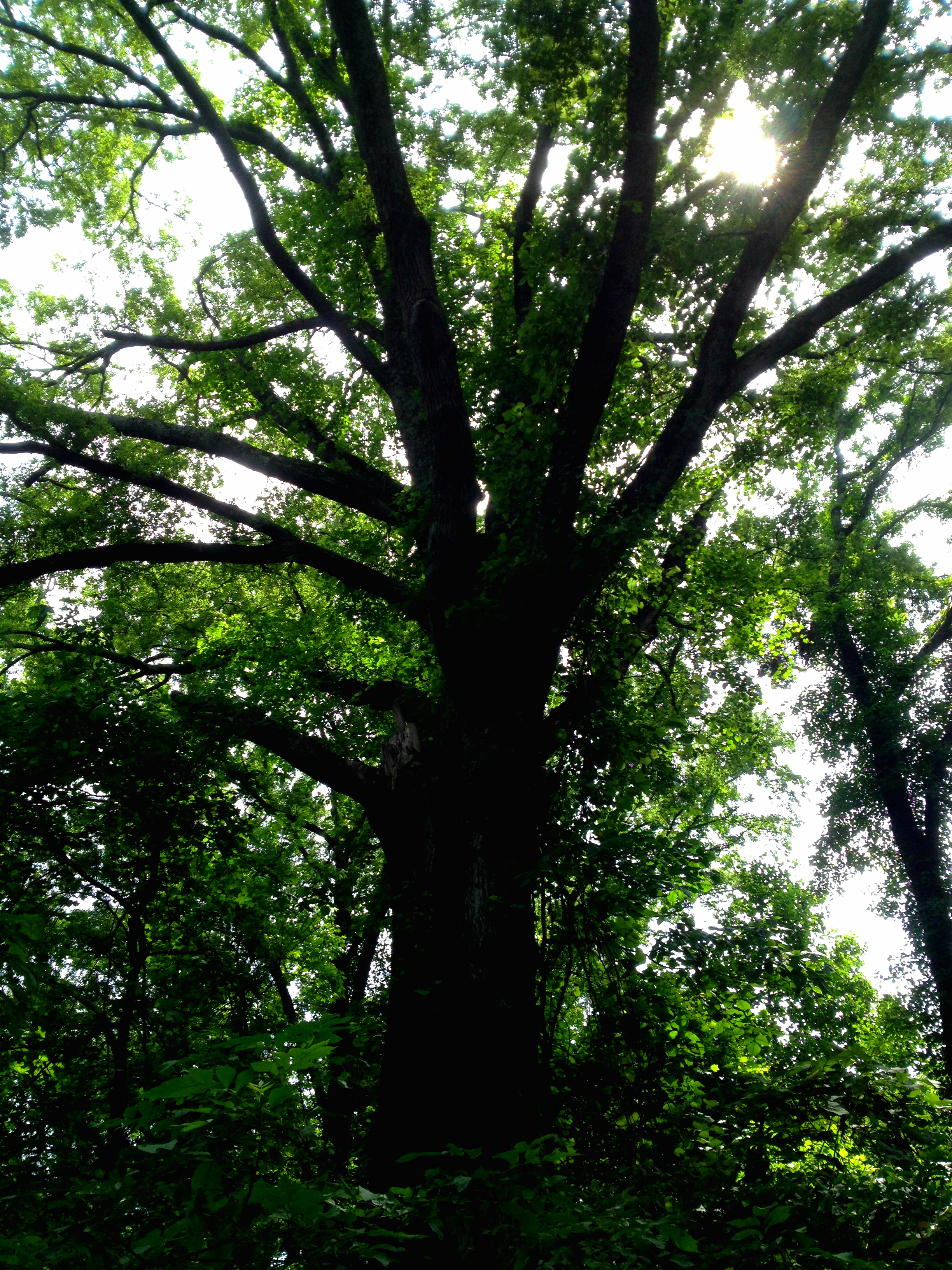 Dolls head trail at constitution lakes history atlanta the tallest recorded willow oak inside the perimeter at constitution lakes park history atlanta 2014 ccuart Image collections